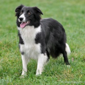Border-Collie-11